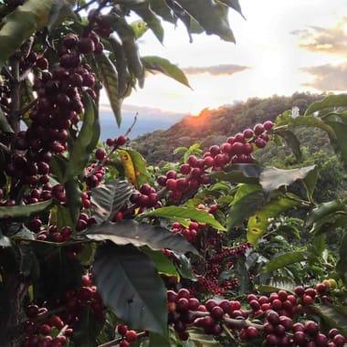 Coffee-finca-volcan-azul-san-isidro