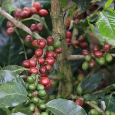 Coffee-juan-contreras-finca-miraflores