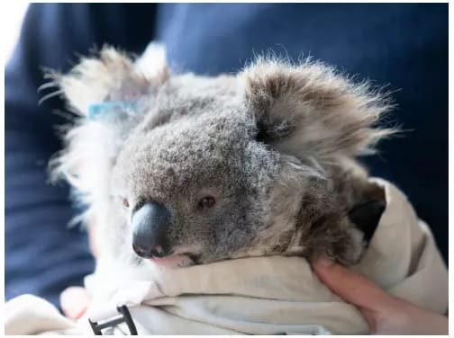 A koala having a check-up