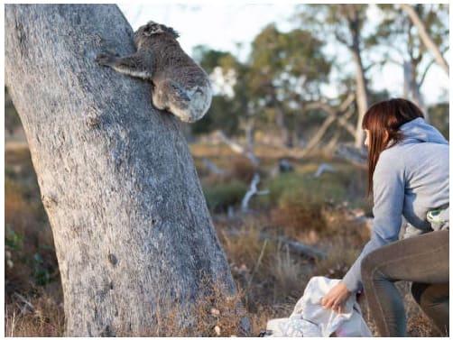 Dr Valentina Mella releasing a koala