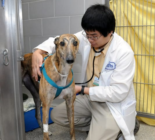 Male vet taking care of a large dog.