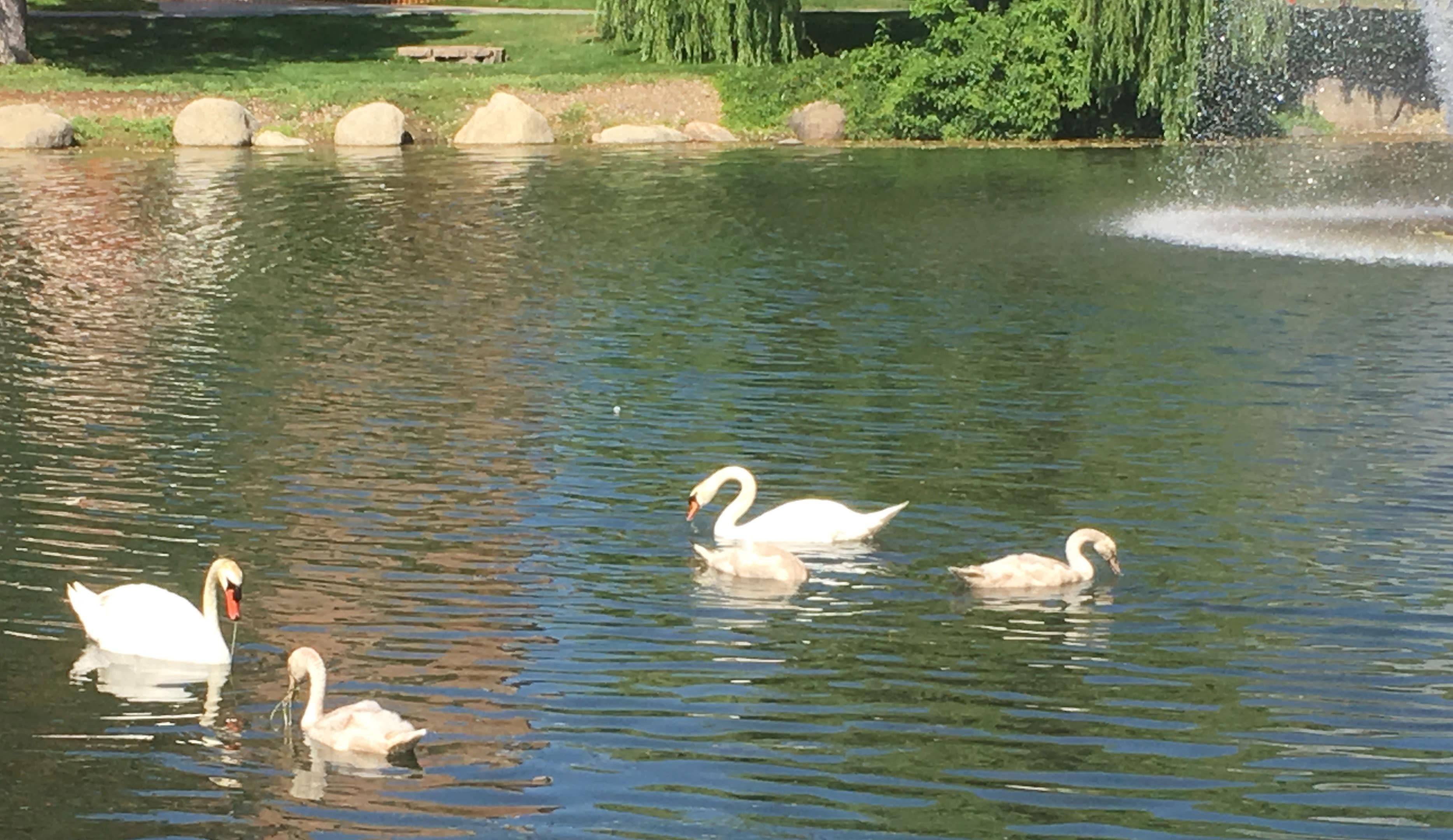 Swans on Manzanita Lake