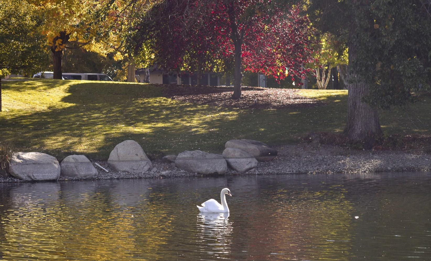 Swan on Manzanita Lake