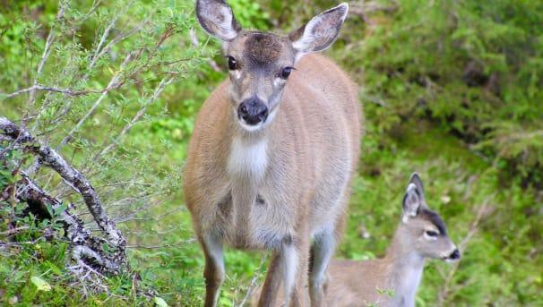 Sitka Deer Image