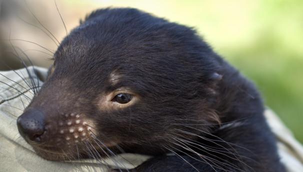 Save our Tasmanian devils Image