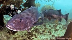 Uncovering Courtship Behaviors and the Sounds of Giant Sea Bass