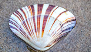 Pismo Clam Research and Recovery