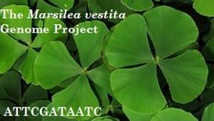 Marselia vestita Genome Project