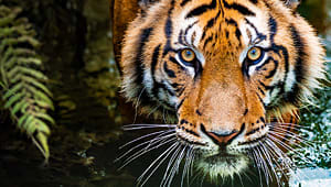 Save the Wild Tigers