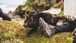 Protecting Tasmanian Devils