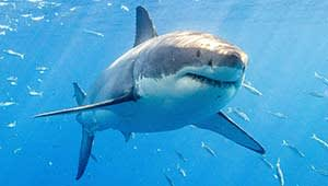 Tracking the last white sharks in the Mediterranean Sea