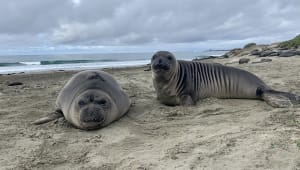 Help Team Ellie continue Research of Northern Elephant Seals!