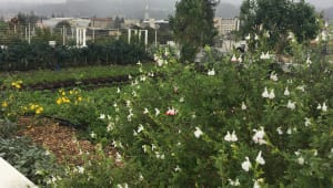 Support Cal's First Productive Rooftop Garden!