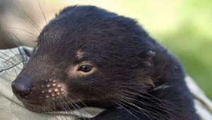 Save our Tasmanian devils