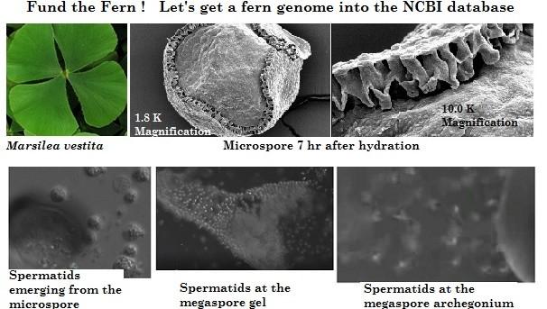 Marselia vestita Genome Project Image