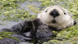 Otterly Important: the health of our coastal oceans