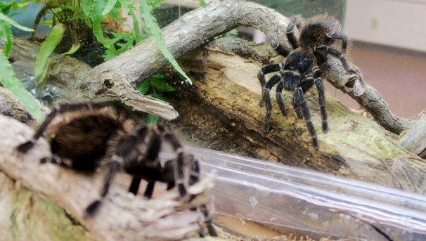 Bird-eating Tarantula reflecting on pandemic life