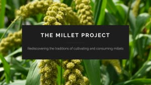 The Millet Project: Where Have All the Grains Gone?