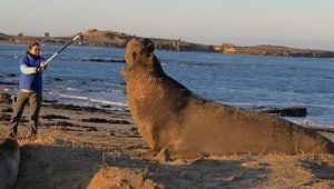 Decoding the language of the Northern Elephant Seal