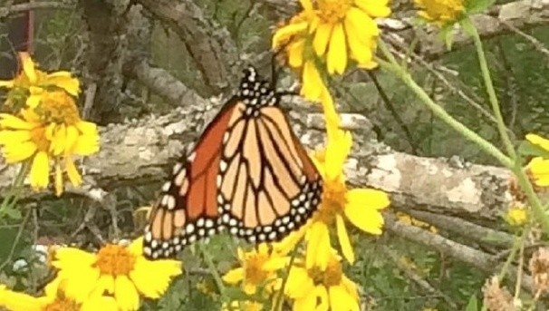 Tracking Monarch Butterflies on Offshore Oil Platforms Image