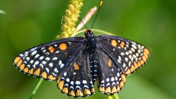 Bring the Baltimore Checkerspot Butterfly Back to Campus Image
