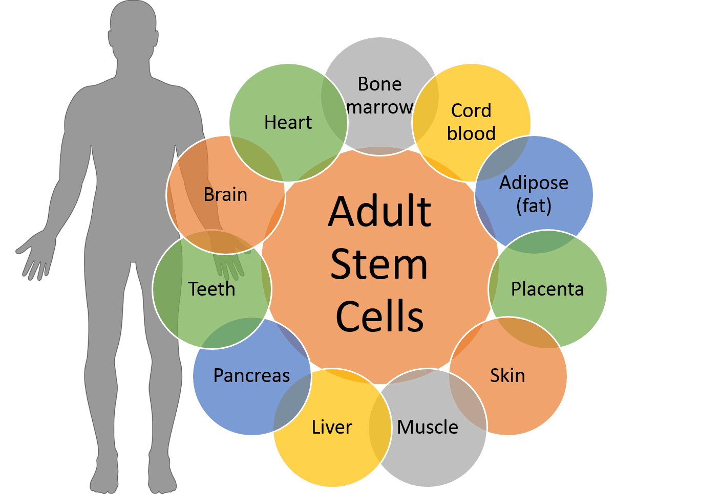 Discussion brain stem cells in adults