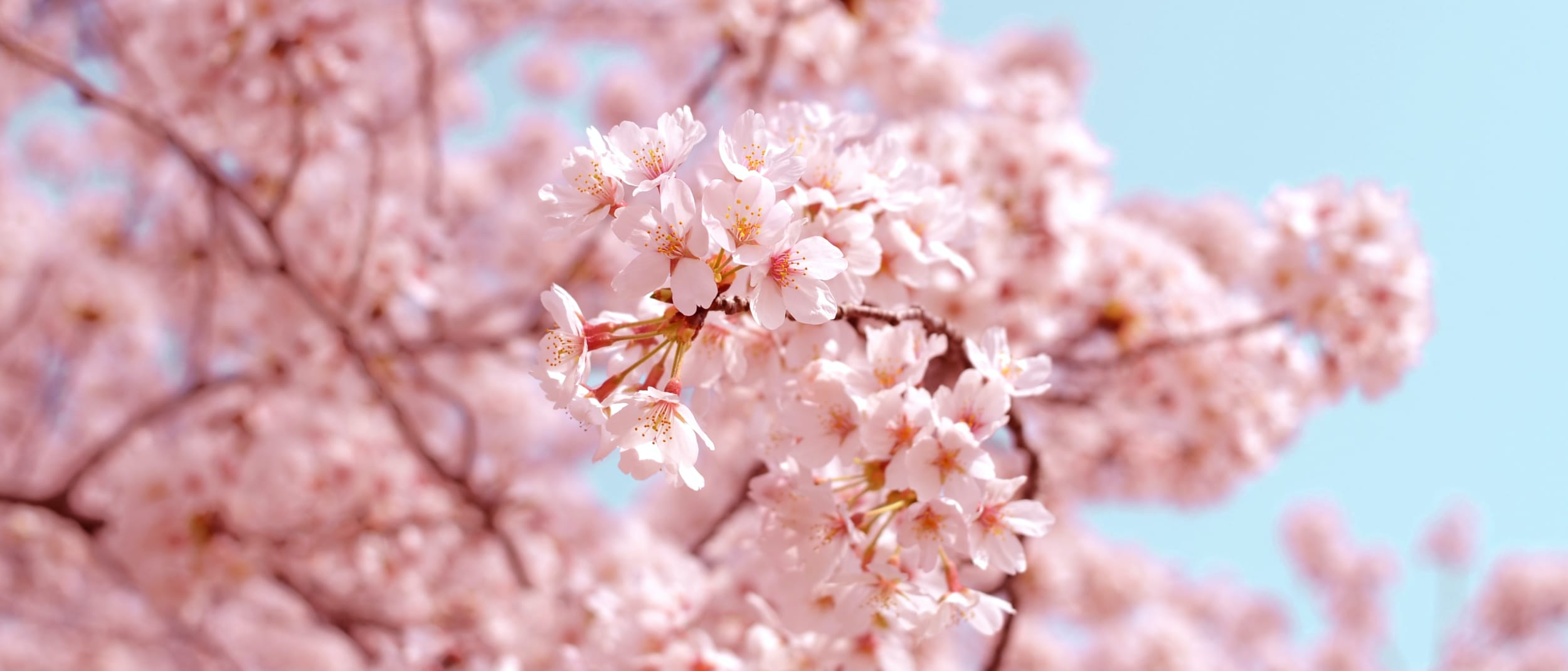 The ultimate Cherry Blossom celebration at Westfield Chatswood