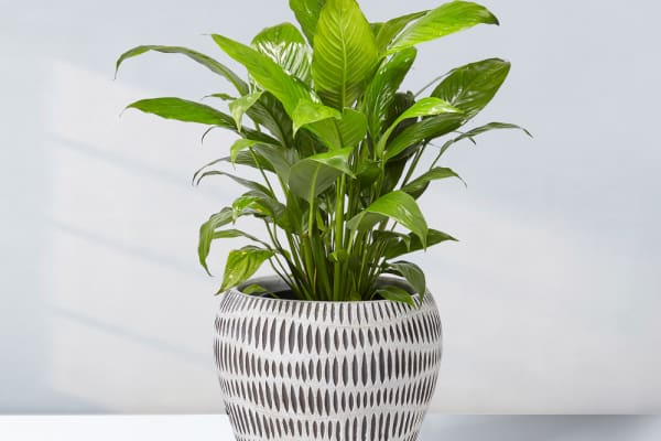 Gro Urban Oasis: 25% off Peace Lily