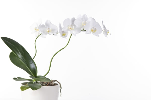 Spring Orchid Show