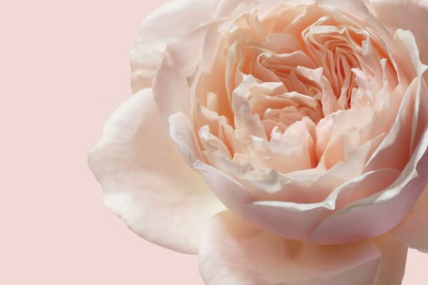 Jurlique- New Rose handcream limited addition