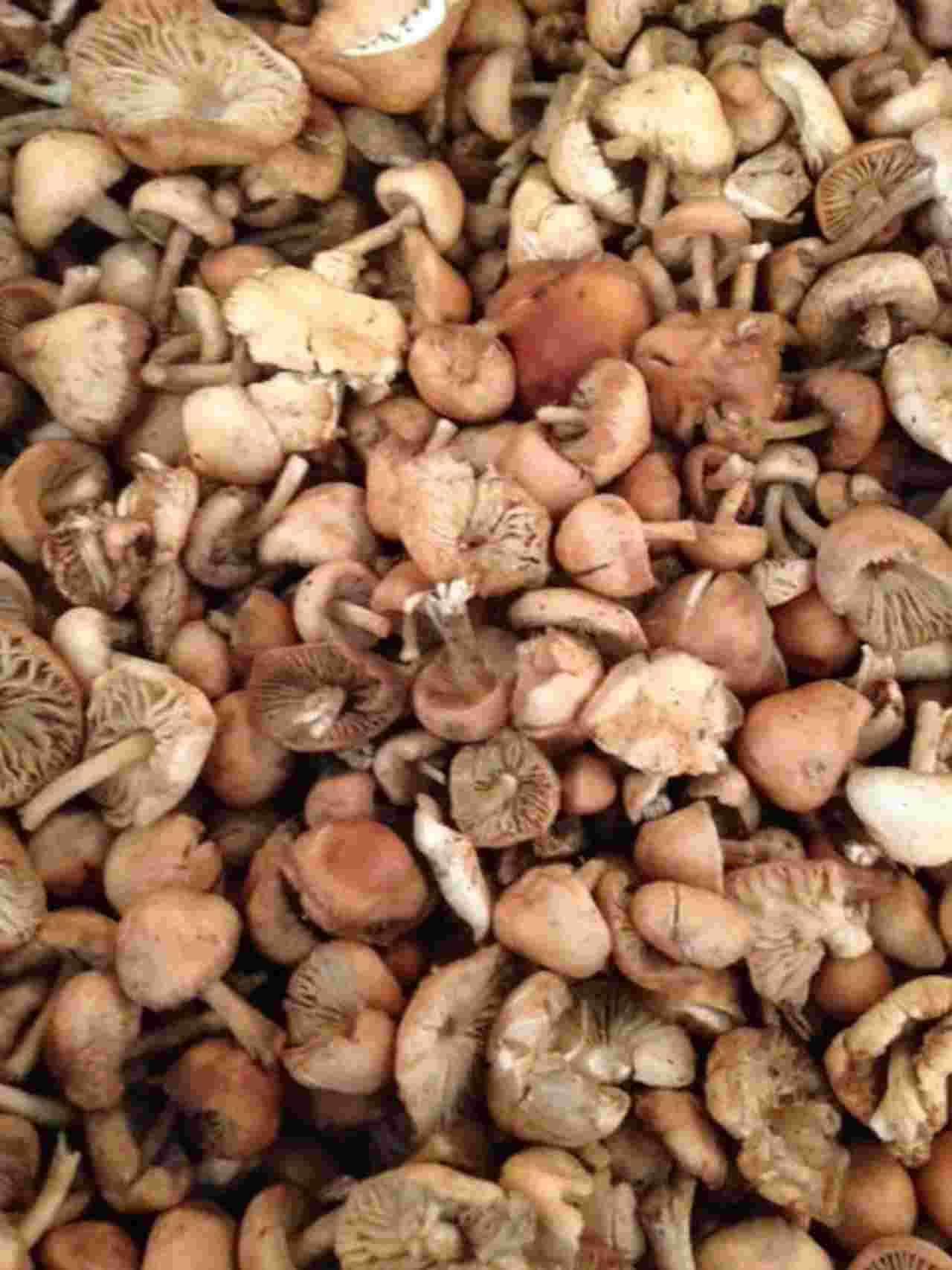 mouseron_mushrooms_close.jpg