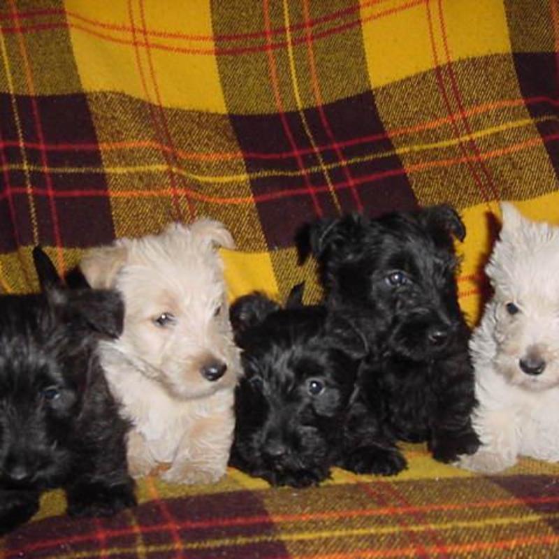 Emmett Valley Scottish Terriers