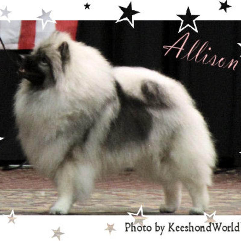 A*Starz Keeshonden & Pomeranians