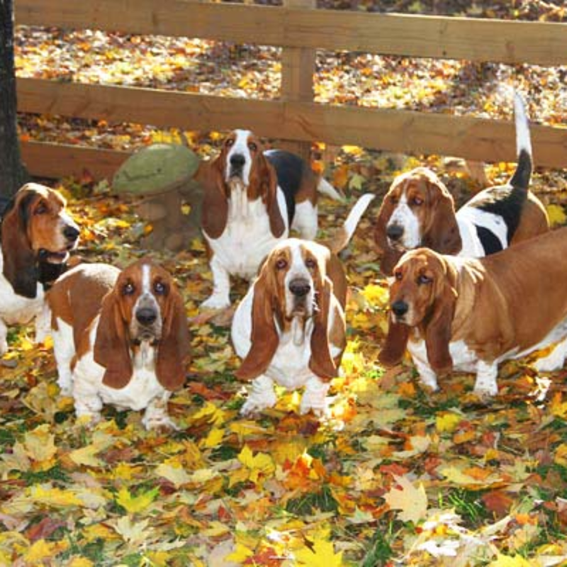 Huggable Bassets