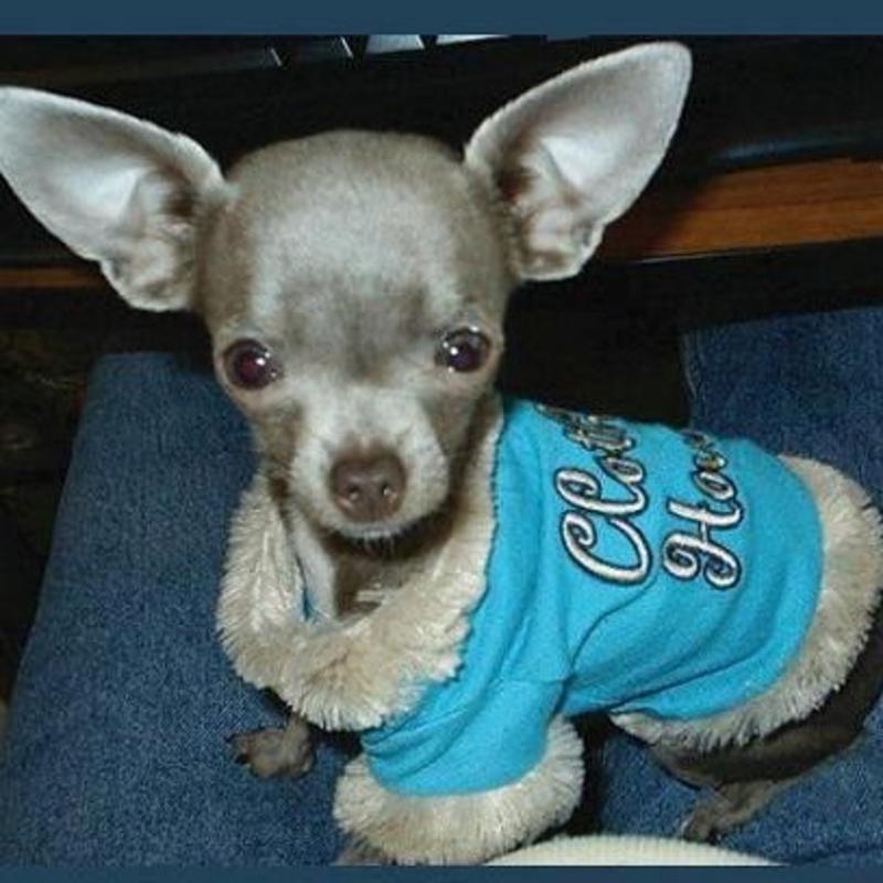 Dj's Chihuahuas
