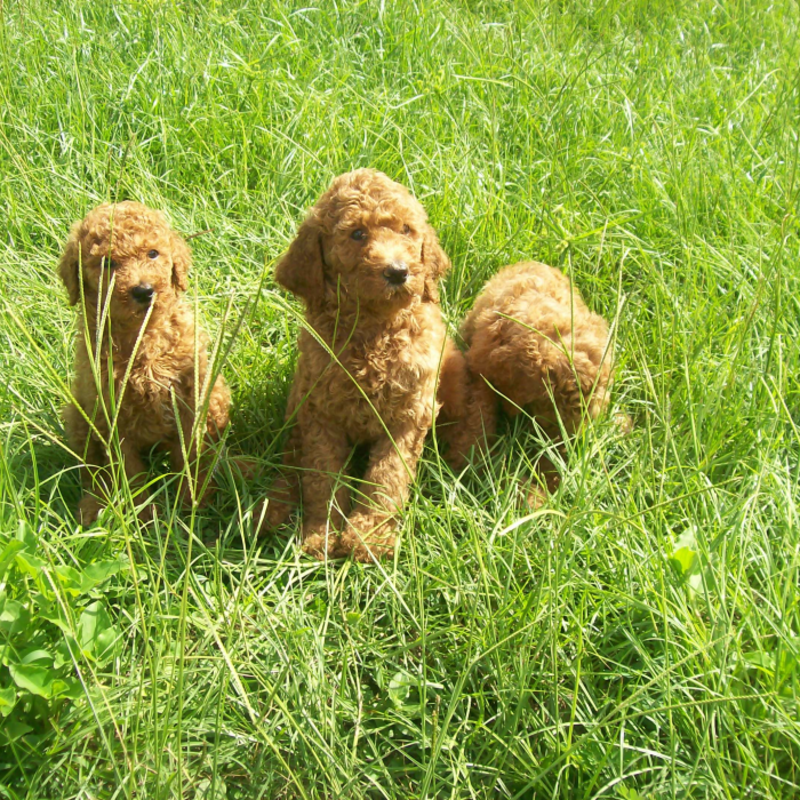 Majestic Poodle Legacy