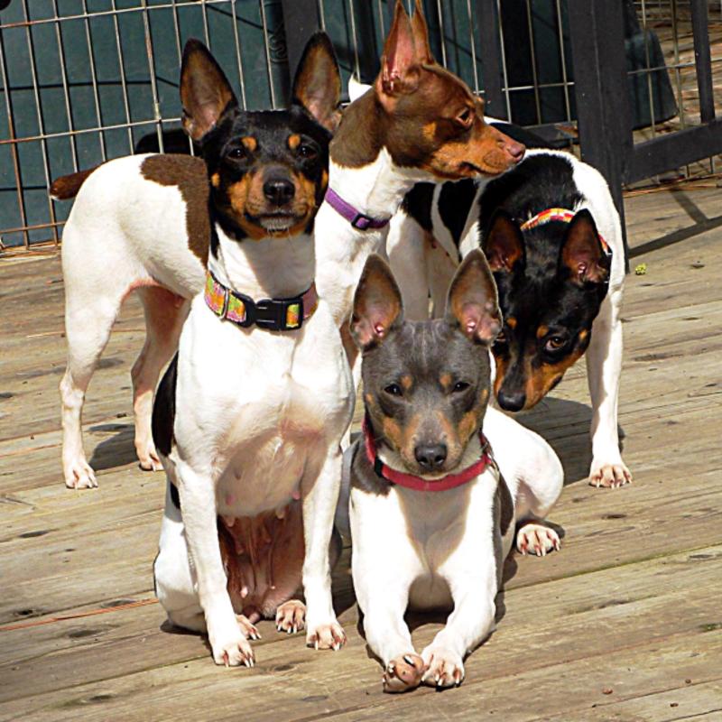 Cal Val Rat Terriers
