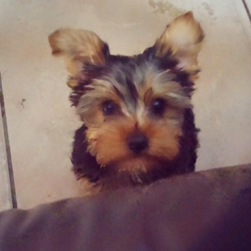 Shelly D. Yorkies