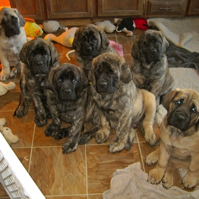 Spillers Mastiffs Of Audley Farms