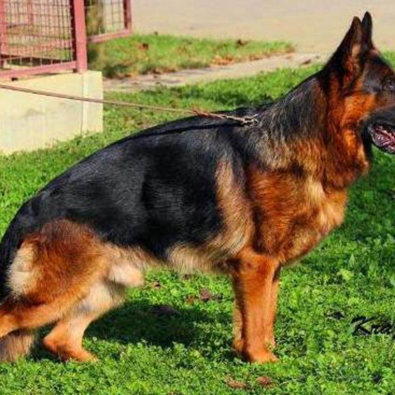 Mittelwest German Shepherd