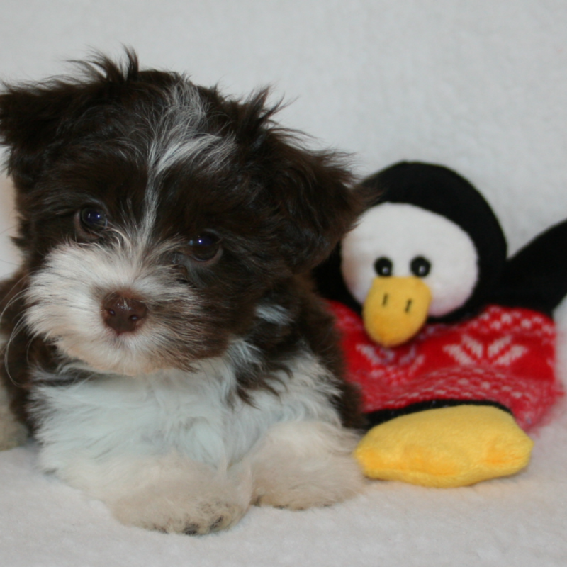 Searchbreeders Colonial Havanese
