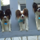 A Breed Apart Papillons