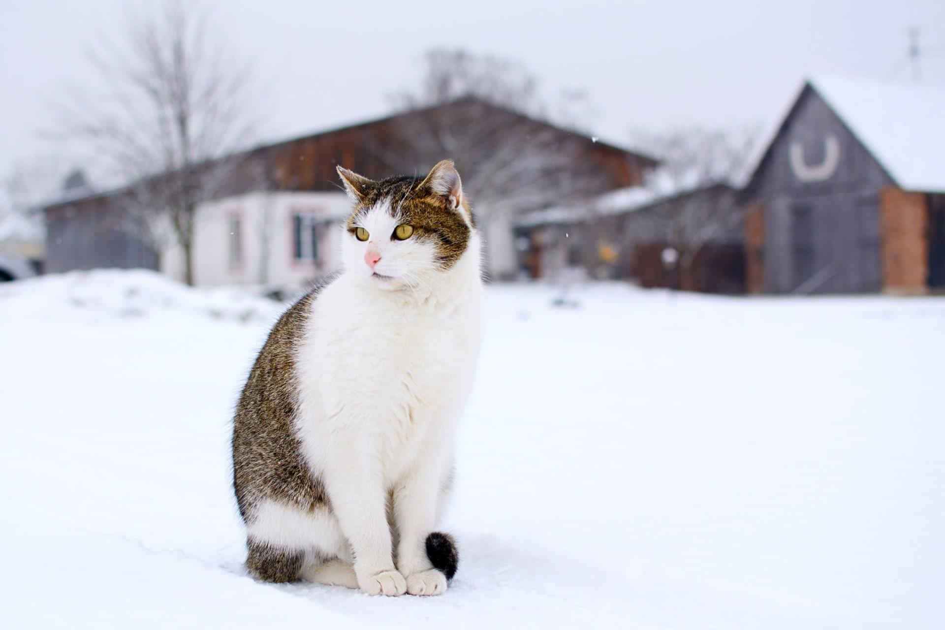 Schneetiger
