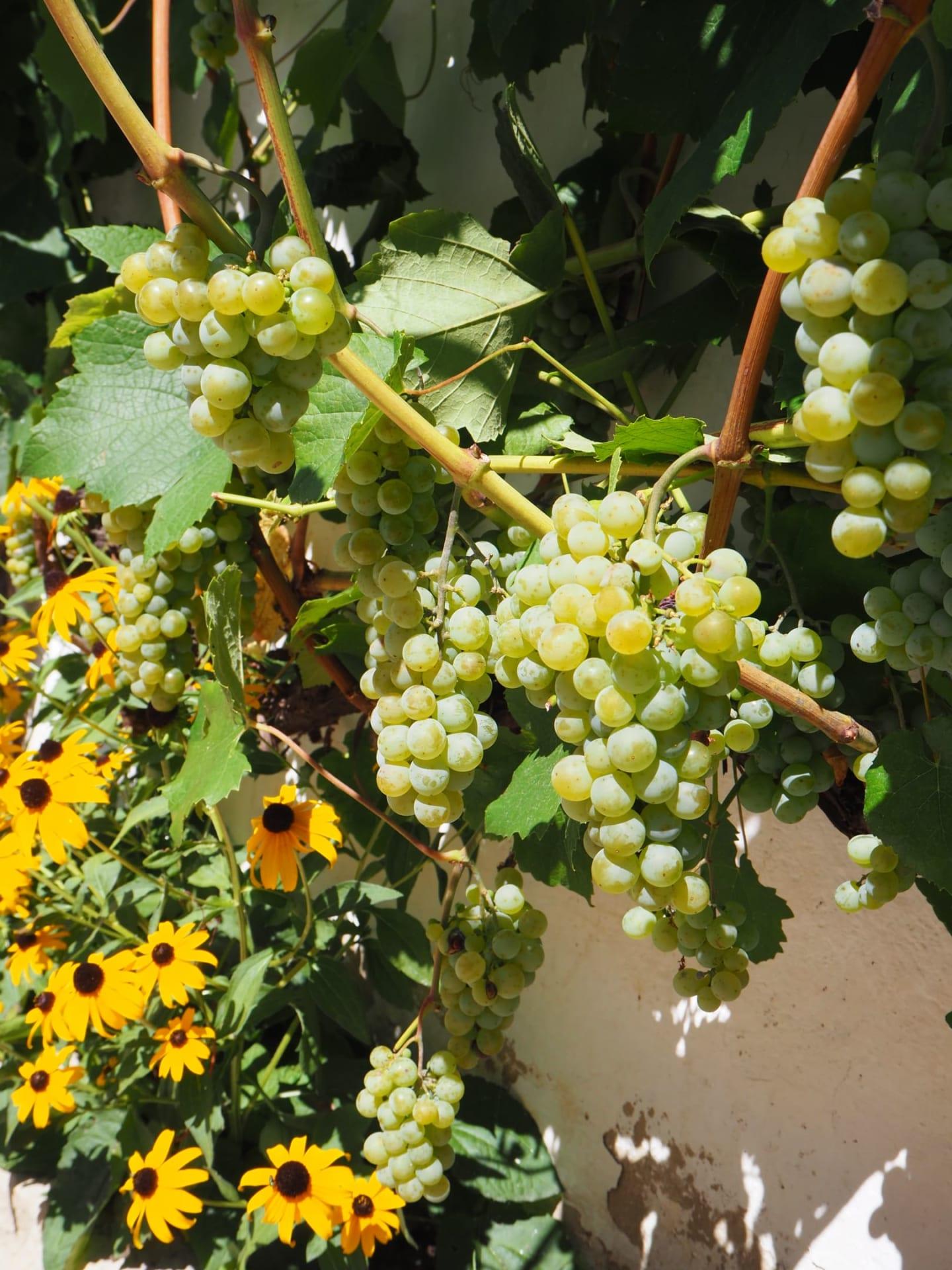 Süße Weintrauben ........