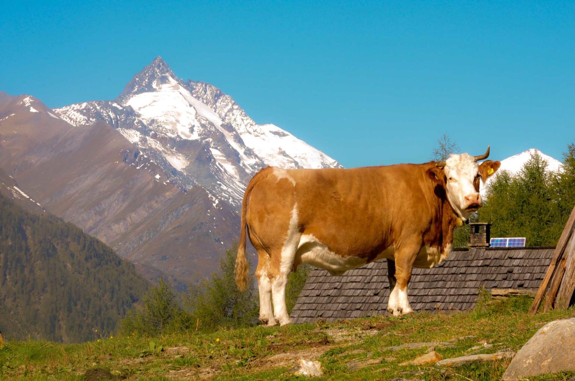 Großglockner und Kuh, gehören dazu