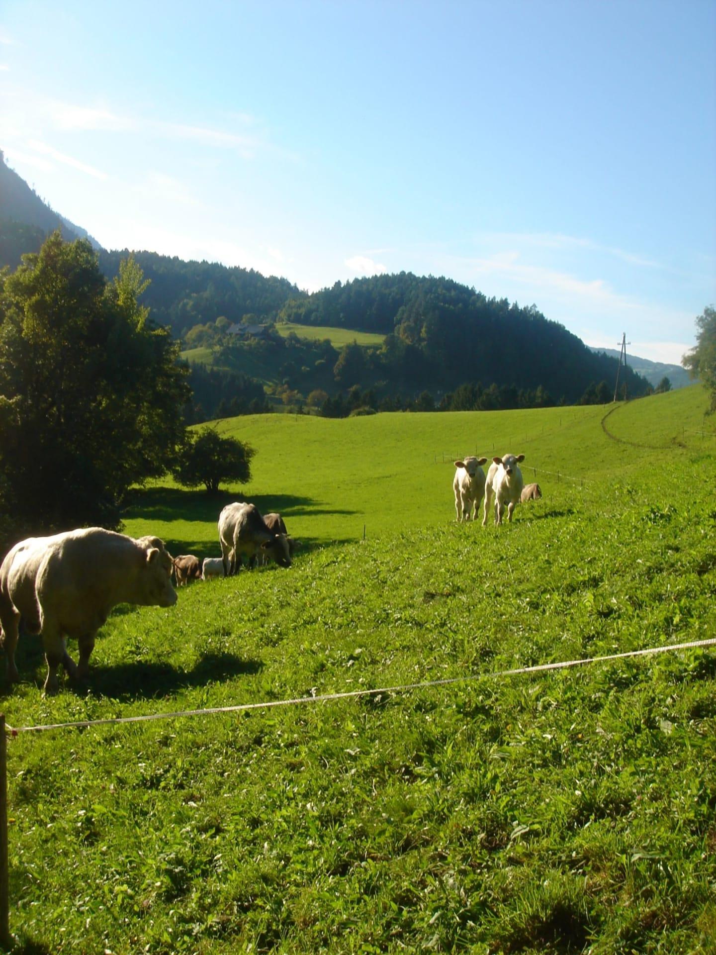 Unsere Herde auf der Wiese