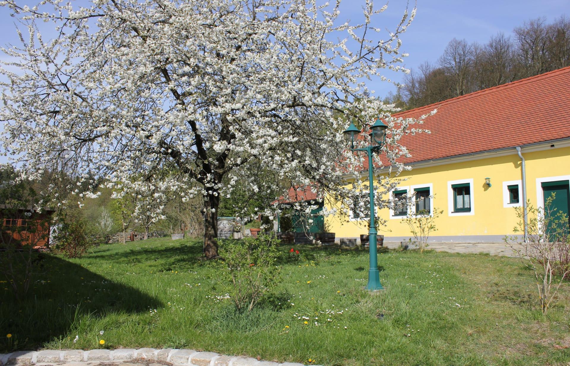 Zum alten Forsthaus - die Kirschen blühen