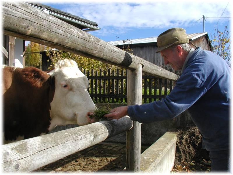 Opa mit Kuh Gerda