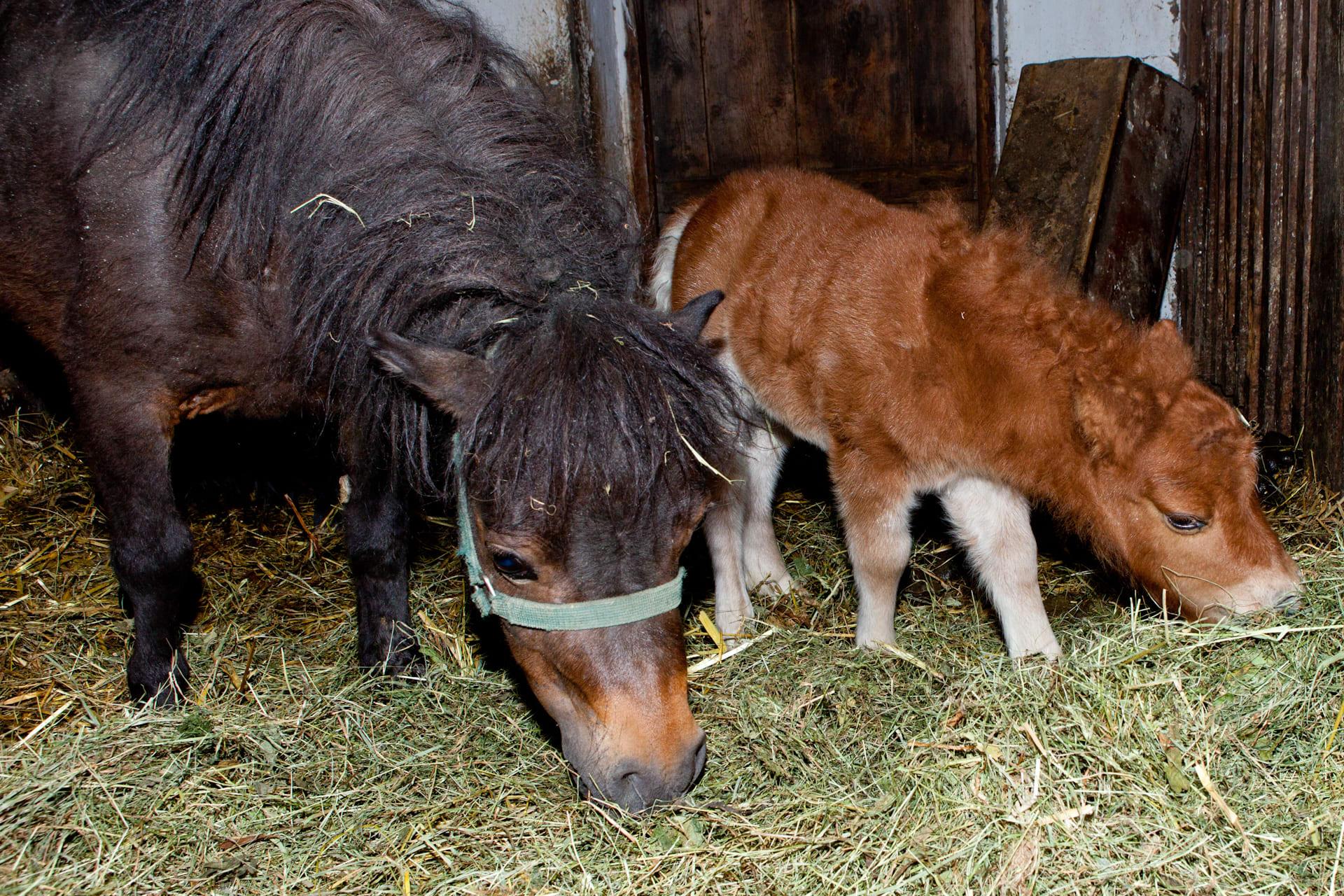 mini Pony Willi mit Mama Pauline