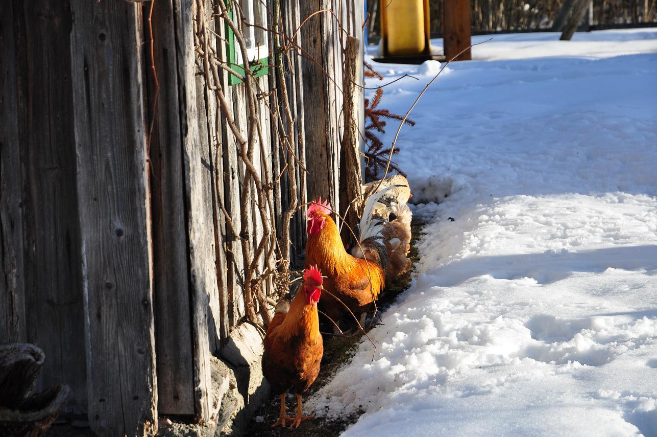 """Die """"Eierfabrikanten"""" genießen die Sonne im Winter"""